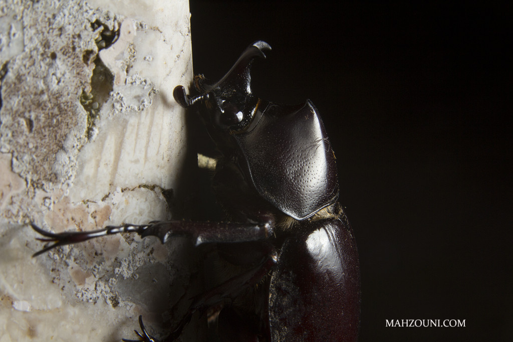 Rhino Beetle, Bali, Ubud, indonesia, wildlife, travel, animal, bud, macro,