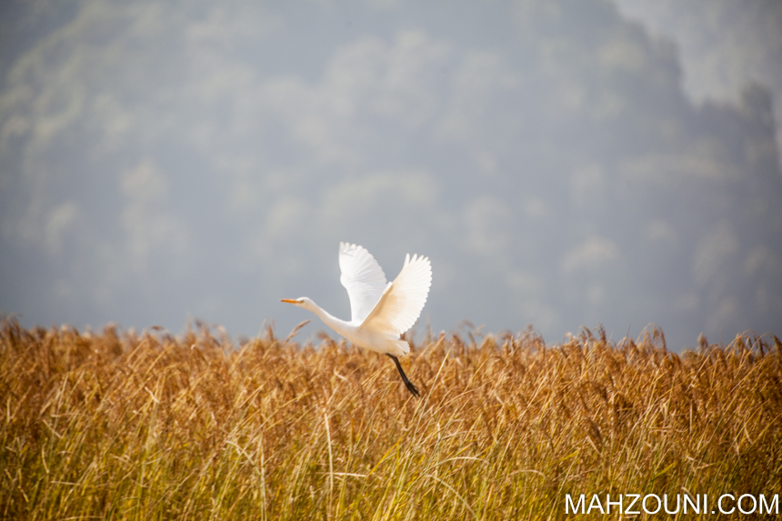white crane, bird, white, black legs, asia, pokhara, wetlands, phewa lake,
