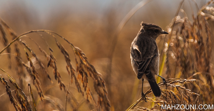 wetlands, bird, small bird, grey, mohawk, pokhara, phewa lake, nepal, asia, harvest time