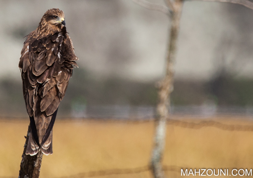 steppe eagle, phewa lake, pokhara, nepal, asia, eagle, wetlands, bird