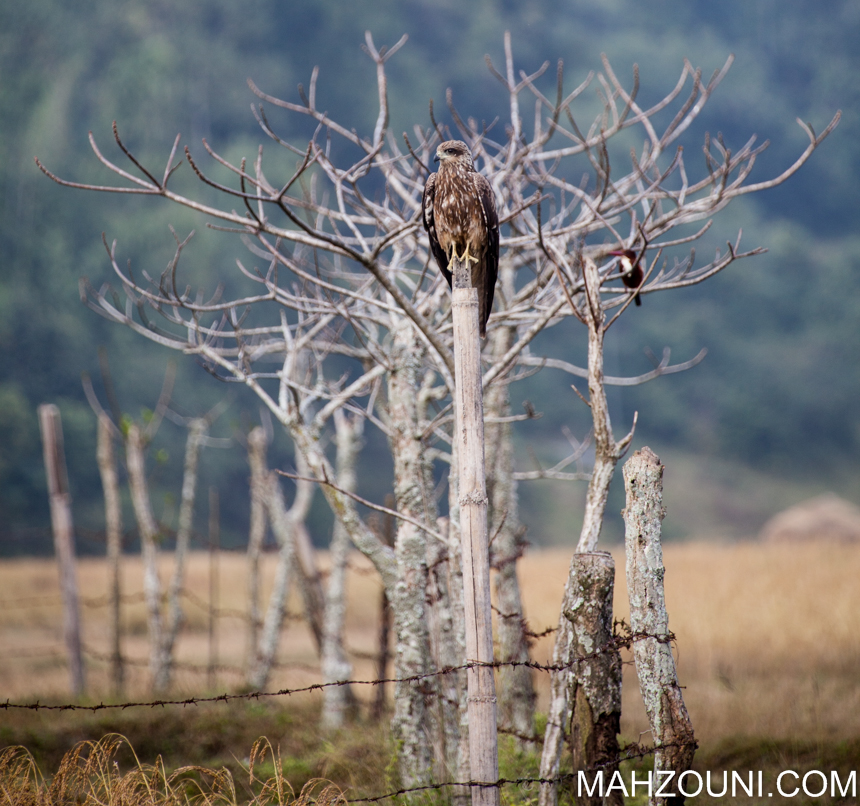 eagle, kingfisher, Nepal, animal, bird, Pokhara, phewa lake
